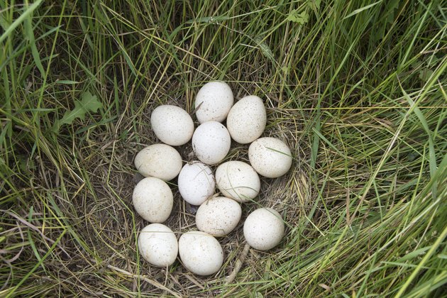 Wild Turkey Eggs On Nest
