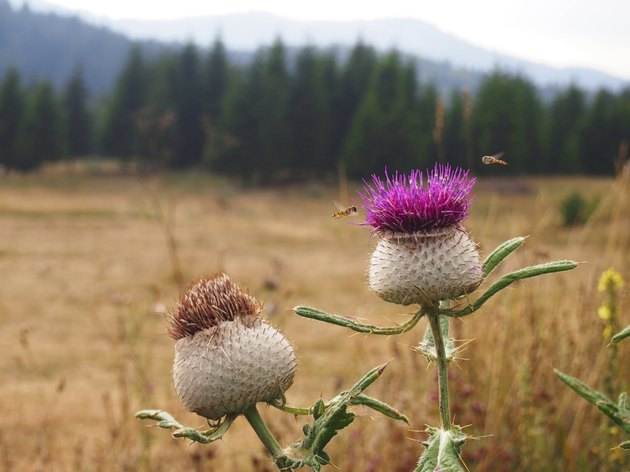 Milk thistle flower (Silibum marianum)