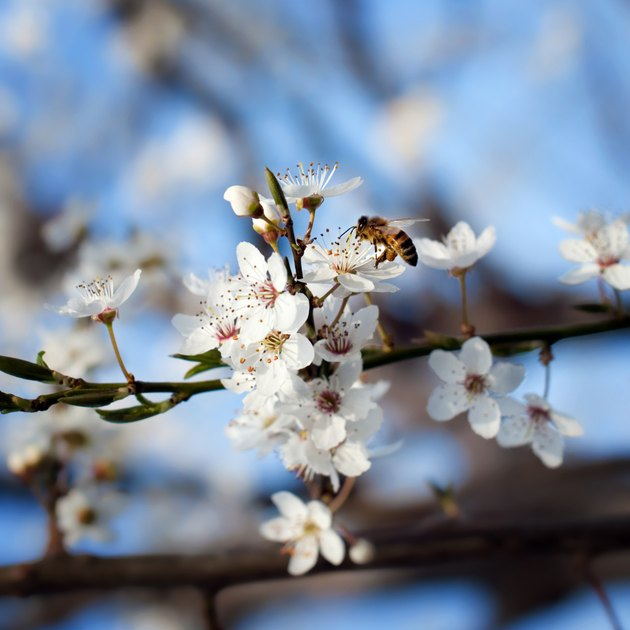 Bee on plum flower