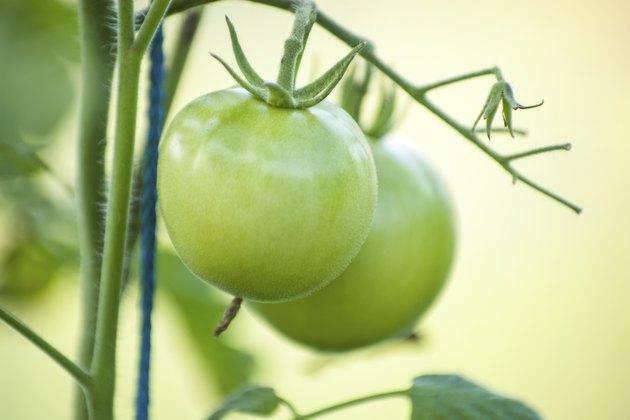 Green tomato on vegetable garden