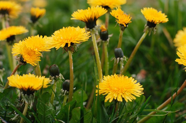 Blooming dandelions in lawn