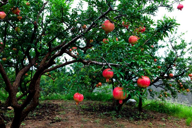Pomegranate trees
