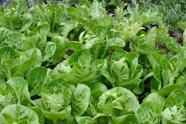 Lettuces in garden. Little Gem Romaine.