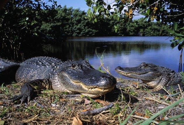Two american alligators