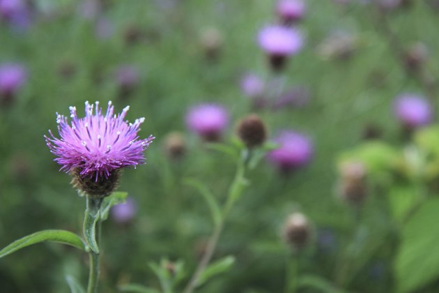 Thistle flower in a field of blurred thistles