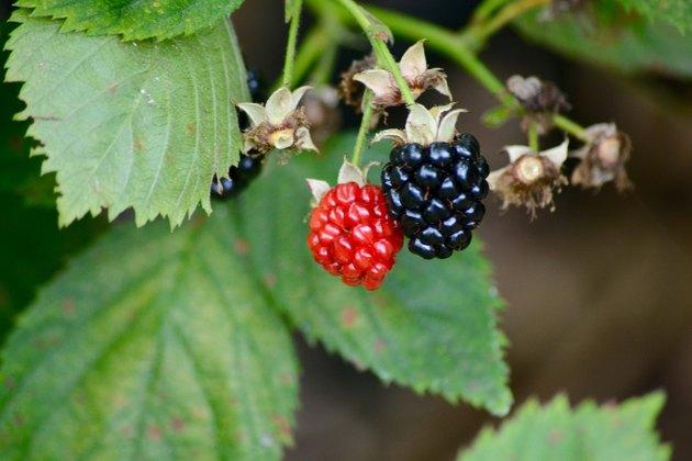 Blackberries Ripe and Unripe