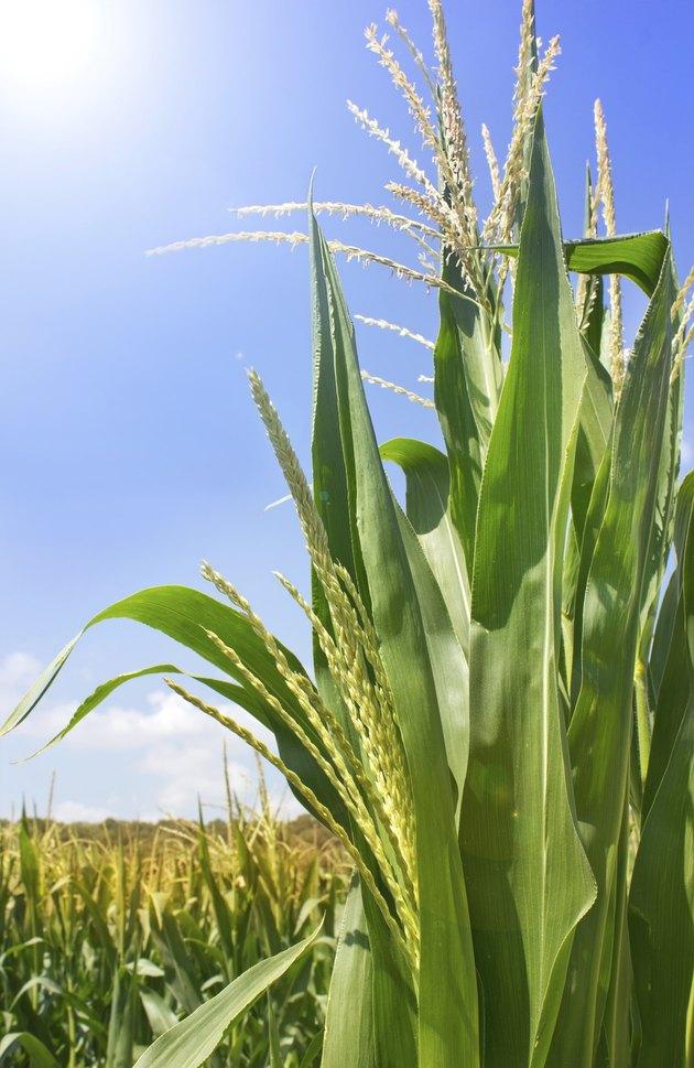 green shoots of corn