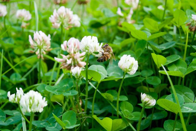 Clover flowers and bee close up