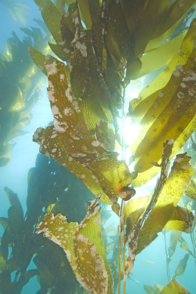 Kelp underwater at California island