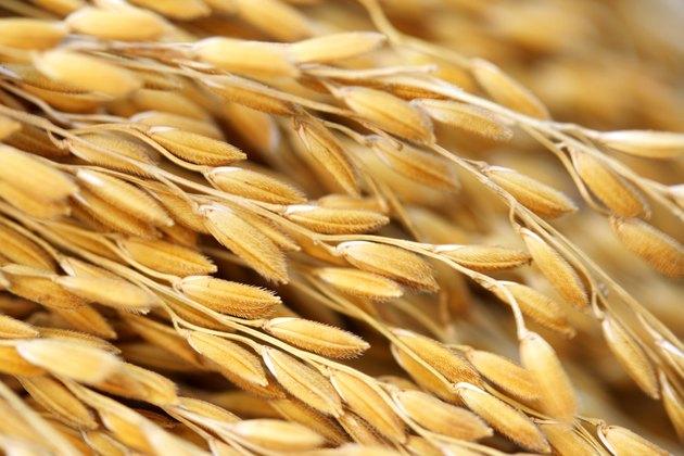 Close up shot of paddy crop