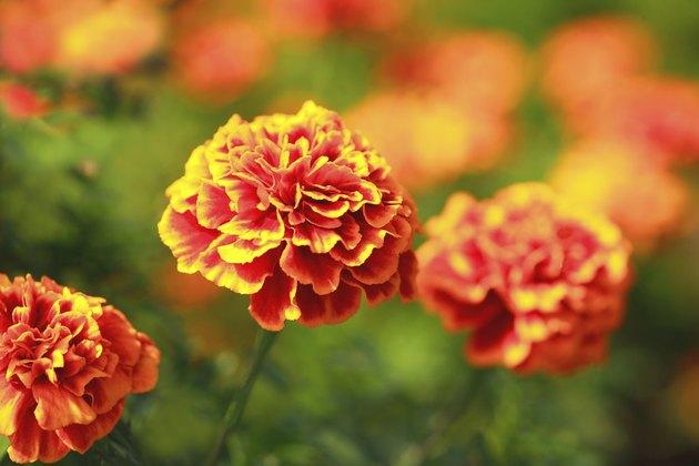 Marigolds, Saitama Prefecture, Japan