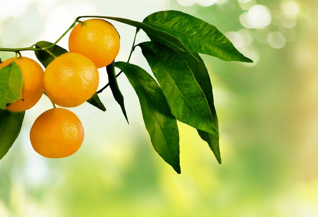 Orange Tree, Orange, Fruit