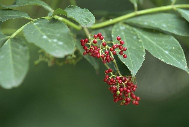 Elder fruits