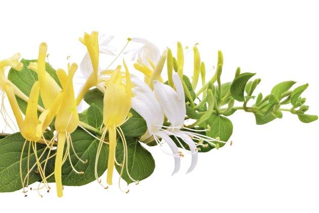 Flowering white-yellow Honeysuckle(Woodbine).Isolated