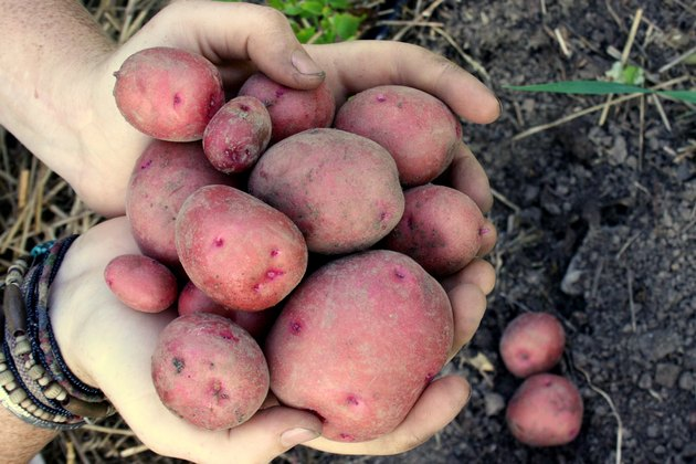Harvesting Red Gold Potatoes