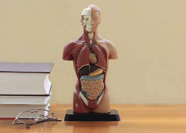 Artificial Model of the human body.Horizontal