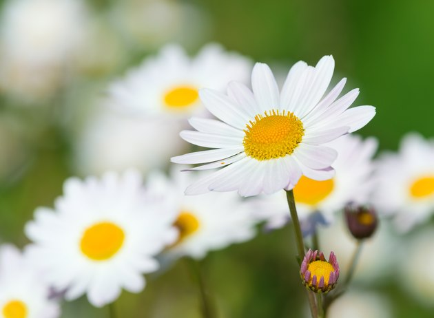 White daisy flowers (camomile) blooming on meadow