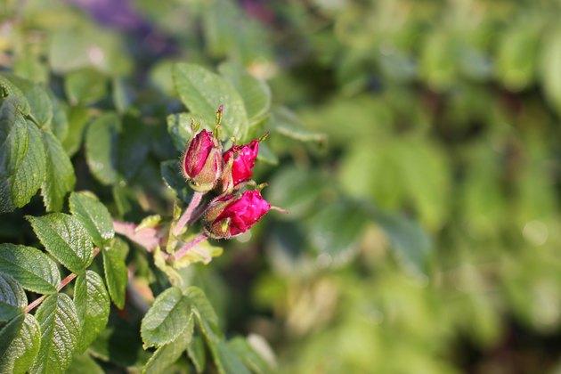 Rose hips bud. flower wild rose.