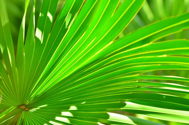 Partially backlit palm frond with leaf tips drooping