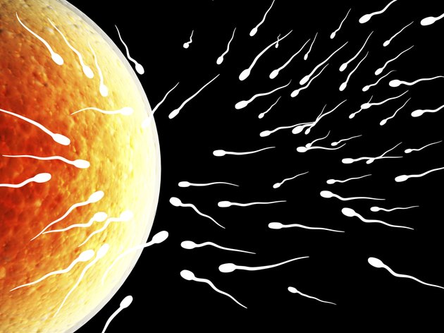 Spermatozoons, floating to ovule