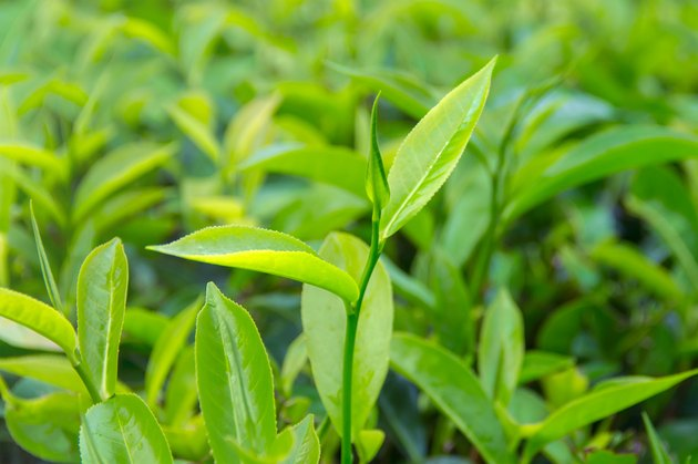 Beautiful freshly picked green tea leaves