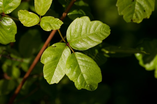 If you love the outdoors, you should be able to identify poison oak or poison ivy.