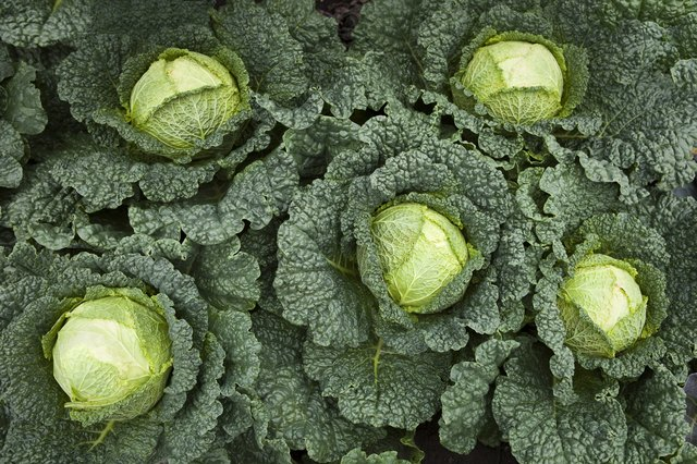 Group of Green Kales Seen From Above