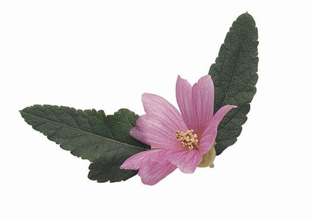 The Health Benefits of Malva Verticillata