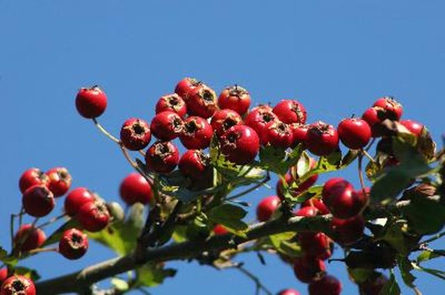Dosage for Hawthorn Berries