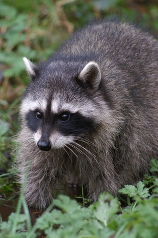 Most Common Rabies Carriers