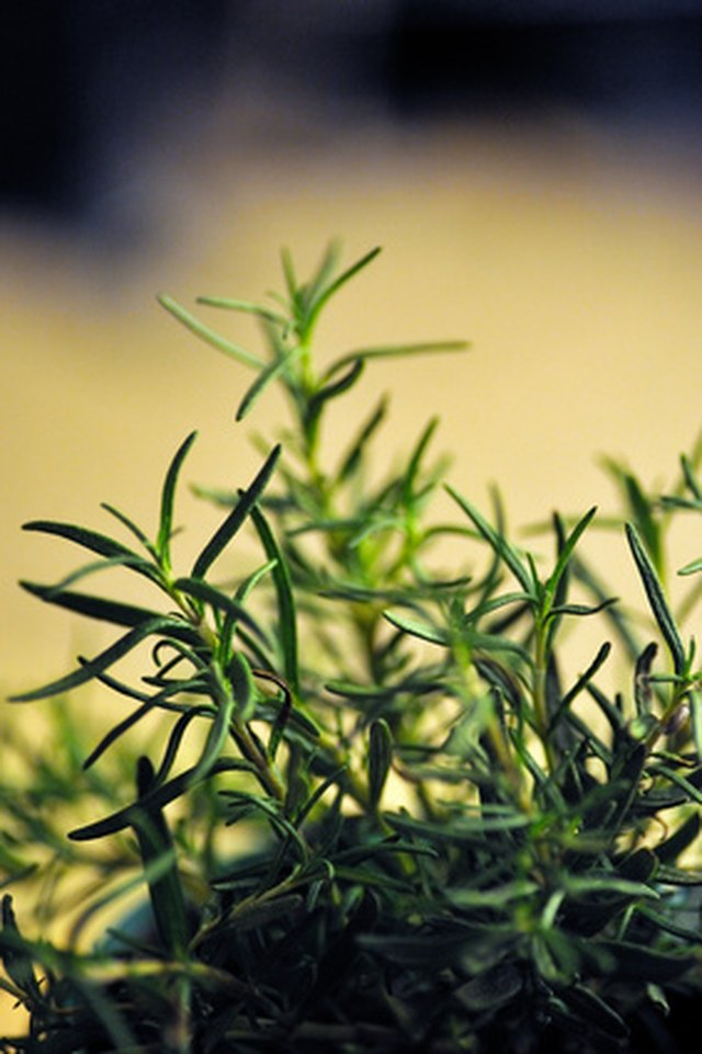 Difference Between Rosemary Extract & Rosemary Essential Oil
