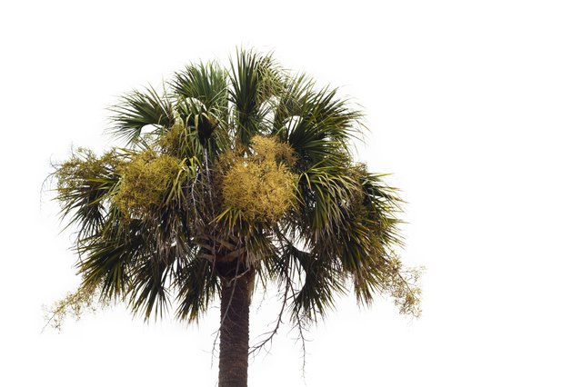 Flowering Palmetto Tree Against A White Background