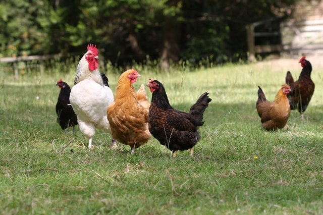 Free-range chickens in farm yard
