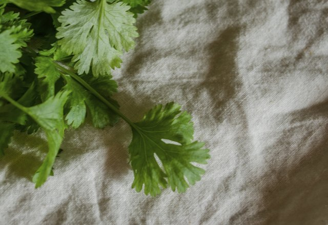 cilantro on cotton background