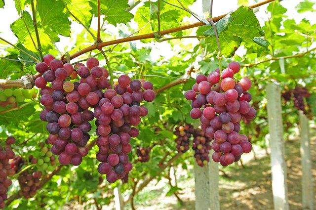 Ripe grapes in his vineyard