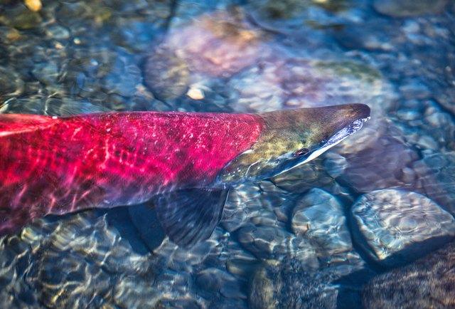 Spawning red salmon