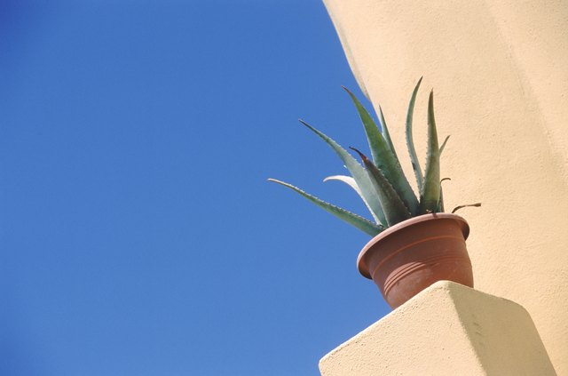Aloevera plant potted in pot, low angle view