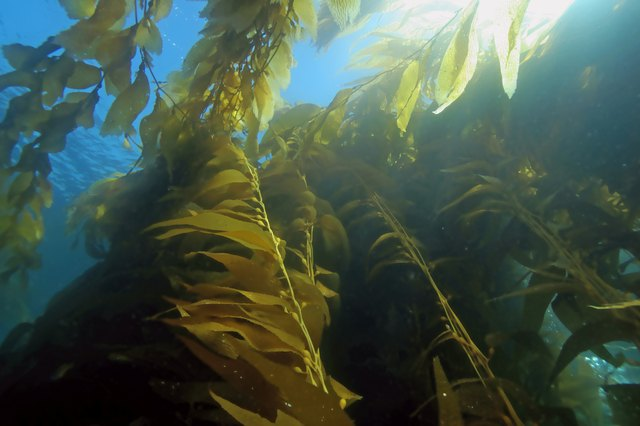 Seaweed kelp forest at California reefs