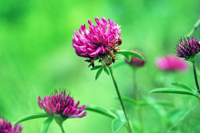 flower clovers