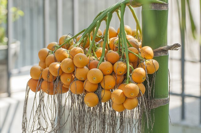 Betel Nut Benefits
