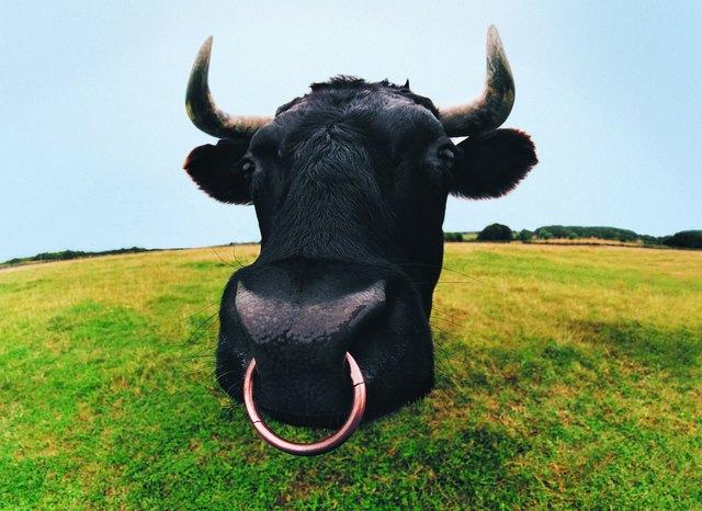 Close-up of Bull's Head
