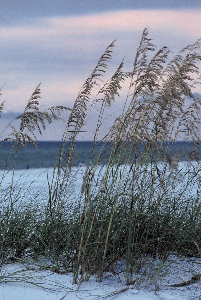 Sea oats on beach