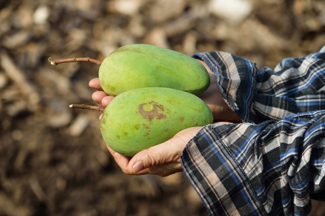 Mangoes fresh from the farm