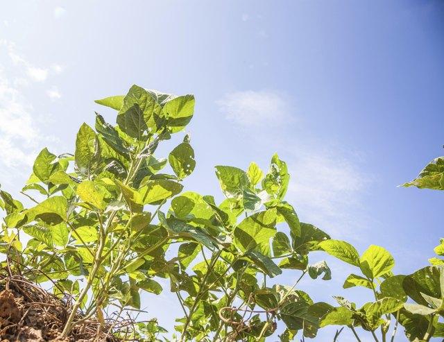 blooming soybean