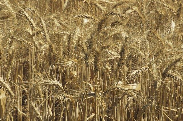 Golden wheat field, close-up