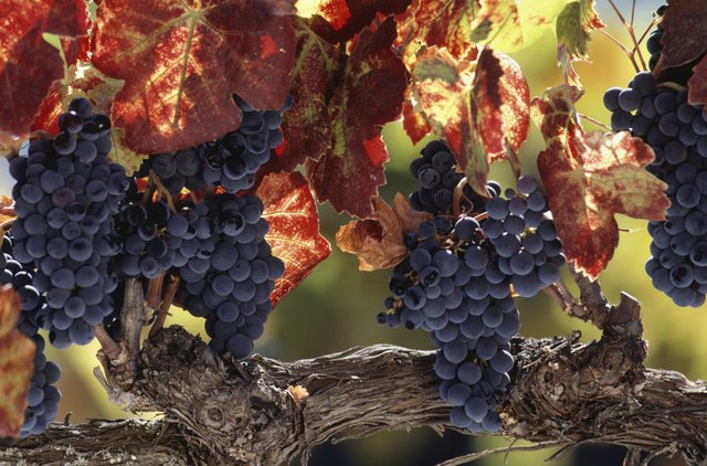 Vine branch with grapes, Wine Country, Napa Valley, CA, USA