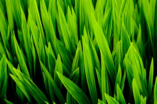 Blades of wheat grass