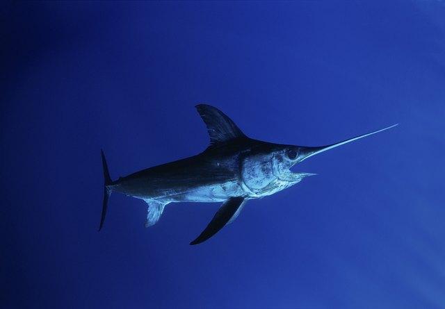 Swordfish (Xipias gladius) in open ocean, Cocos Island, Costa Rica - Pacific Ocean.