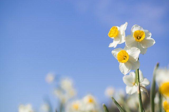 Narcissuses