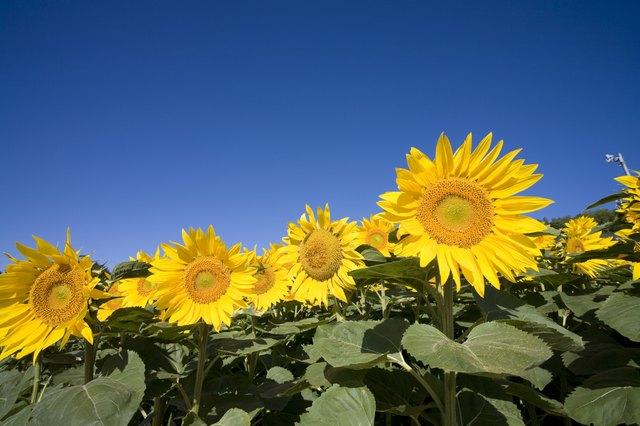 Sunflowers, Hokkaido Prefecture, Japan